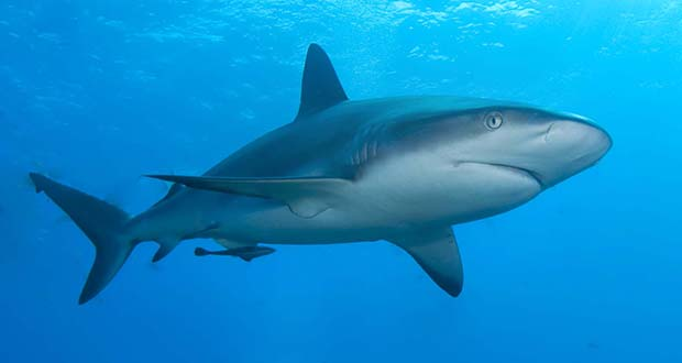 interesting facts about sharks com 25 interesting facts about sharks