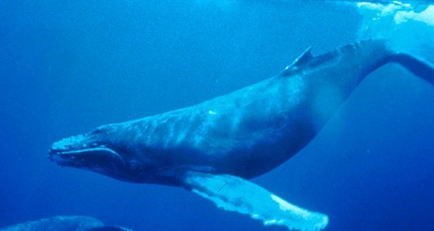 blue whales tongue weighs as much as an elephant