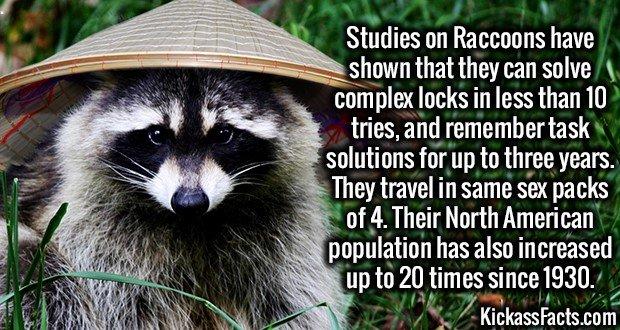 1839 Raccoon