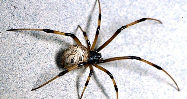 Spider S