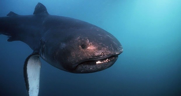01 Megamouth shark