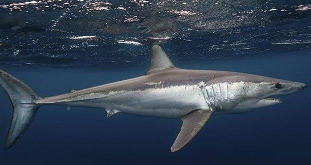 02 Mako shark