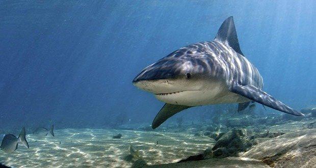 06 Bull shark