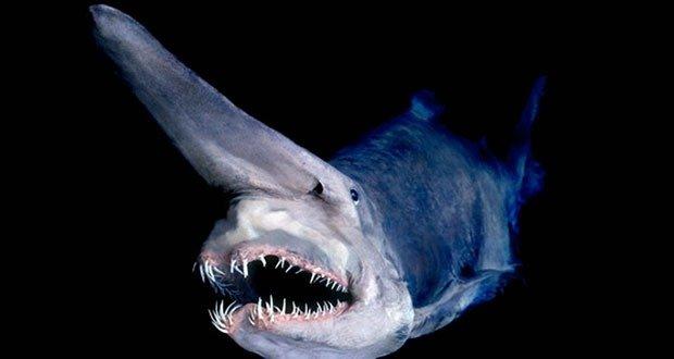07 Goblin shark