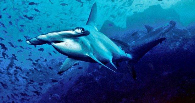 09 Hammerhead sharks