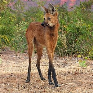 07. Maned Wolf