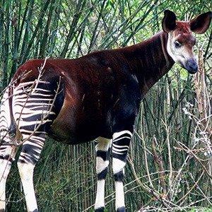 09. Okapi