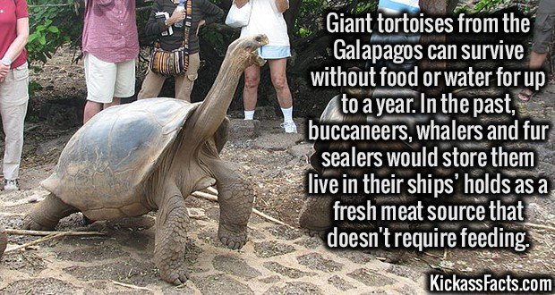 Giant tortoises from the Galapagos can survive without food or water for up to a year. In the past, buccaneers, whalers and fur sealers would store them live in their ships' holds as a fresh meat source that doesn't require feeding.