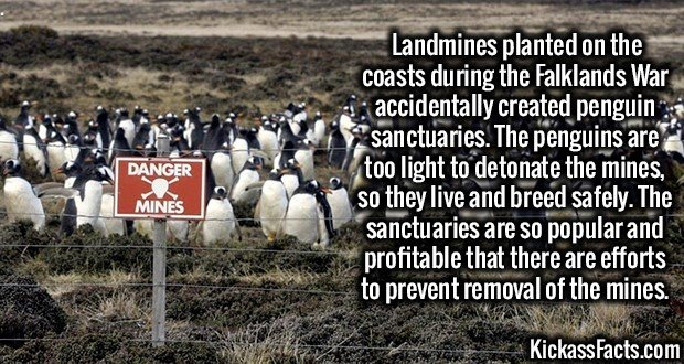 Landmines planted on the coasts during the Falklands War accidentally created penguin sanctuaries. The penguins are too light to detonate the mines, so they live and breed safely. The sanctuaries are so popular and profitable that there are efforts to prevent removal of the mines.