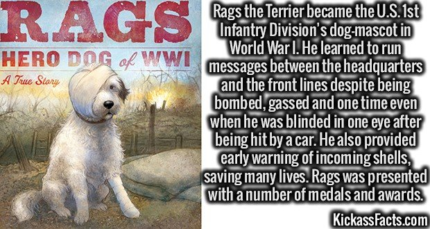 Rags the Terrier became the U.S. 1st Infantry Division's dog-mascot in World War I. He learned to run messages between the headquarters and the front lines despite being bombed, gassed and one time even after he was blinded in one eye after being hit by a car. He also provided early warning of incoming shells saving many lives. Rags was presented with a number of medals and awards.