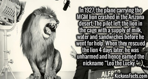 """In 1927, the plane carrying the MGM lion crashed in the Arizona desert. The pilot left the lion in the cage with a supply of milk, water and sandwiches before he went for help. When they rescued the lion 4 days later, he was unharmed and hence earned the nickname """"Leo the Lucky."""""""