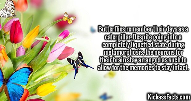 2057 Butterflies-Butterflies remember their days as a caterpillar. Despite going into a completely liquefied state during metamorphosis, the neurons for their brain stay arranged as such to allow for the memories to stay intact.