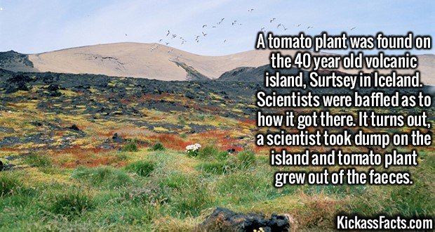 2095 Volcanic Tomatoes-A tomato plant was found on the 40 year old volcanic island, Surtsey in Iceland. Scientists were baffled as to how it got there. It turns out, a scientist took dump on the island and tomato plant grew out of the faeces.