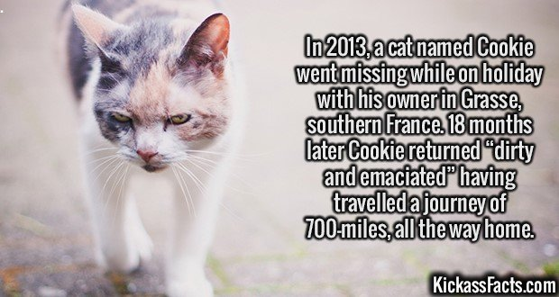 """2118 Cookie Cat-In 2013, a cat named Cookie went missing while on holiday with his owner in Grasse, southern France. 18 months later Cookie returned """"dirty and emaciated"""" having travelled a journey of 700-miles, all the way home."""