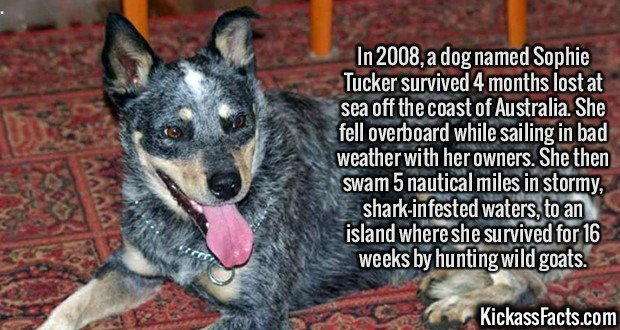 2128 Sophie Tucker-In 2008, a dog named Sophie Tucker survived 4 months lost at sea off the coast of Australia. She fell overboard while sailing in bad weather with her owners. She then swam 5 nautical miles in stormy, shark-infested waters, to an island where she survived for 16 weeks by hunting wild goats.