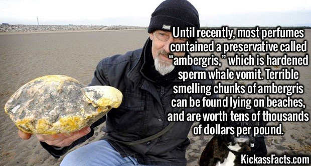 """2147 Ambergris-Until recently, most perfumes contained a preservative called """"ambergris,"""" which is hardened sperm whale vomit. Terrible smelling chunks of ambergris can be found lying on beaches, and are worth tens of thousands of dollars per pound."""