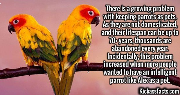 2148 Parrot as pets-There is a growing problem with keeping parrots as pets. As they are not domesticated, and their lifespan can be up to 70+ years, thousands are abandoned every year. Incidentally, this problem increased when more people wanted to have an intelligent parrot like Alex as a pet.