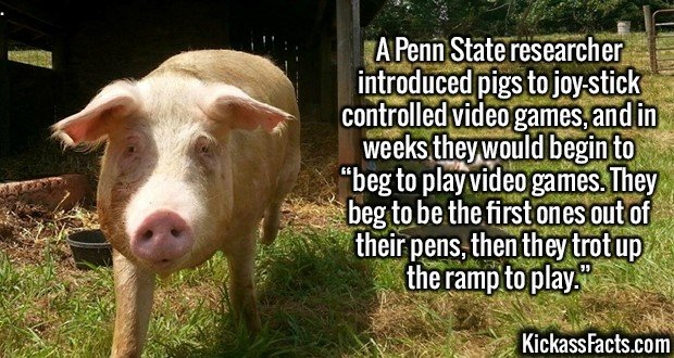 """2154 Pigs Videogames-A Penn State researcher introduced pigs to joy-stick controlled video games, and in weeks they would begin to """"beg to play video games. They beg to be the first ones out of their pens, then they trot up the ramp to play."""""""