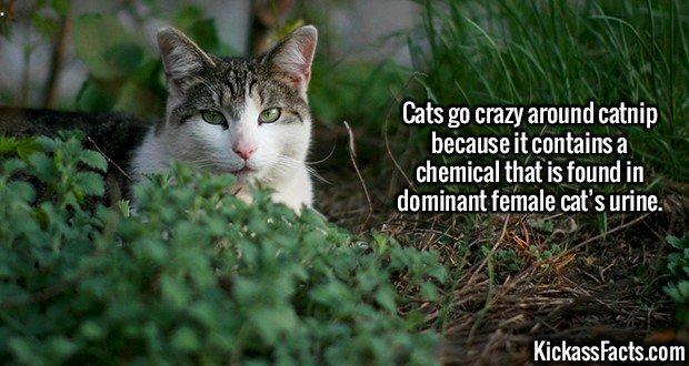 2169 Cats with Catnip-Cats go crazy around catnip because it contains a chemical that is found in dominant female cat's urine.