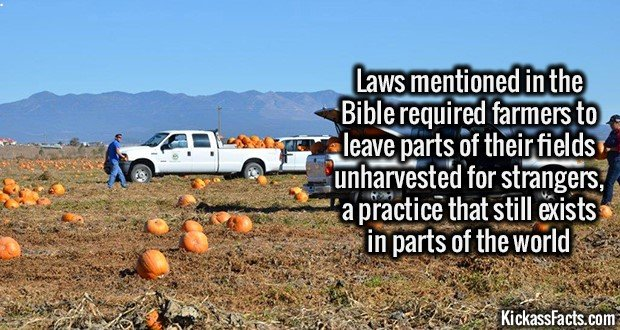2219 Gleaning-Laws mentioned in the bible required farmers to leave parts of their fields unharvested for strangers, a practice that still exists in parts of the world