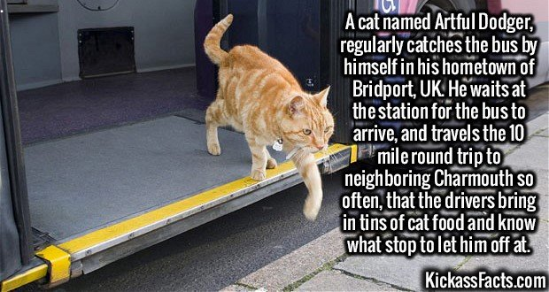 2593 Artful Dodger-A cat named Artful Dodger, regularly catches the bus by himself in his hometown of Bridport, UK. He waits at the station for the bus to arrive, and travels the 10 mile round trip to neighboring Charmouth so often, that the drivers bring in tins of cat food and know what stop to let him off at.