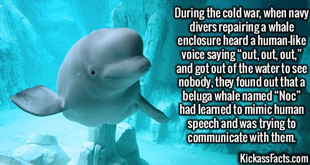 """2612 Noc Beluga Whale-During the cold war, when navy divers repairing a whale enclosure heard a human-like voice saying """"out, out, out,"""" and got out of the water to see nobody, they found out that a beluga whale named """"Noc"""" had learned to mimic human speech and was trying to communicate with them."""