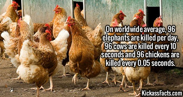 2628 Animal Kill Rate-On worldwide average, 96 elephants are killed per day, 96 cows are killed every 10 seconds and 96 chickens are killed every 0.05 seconds.