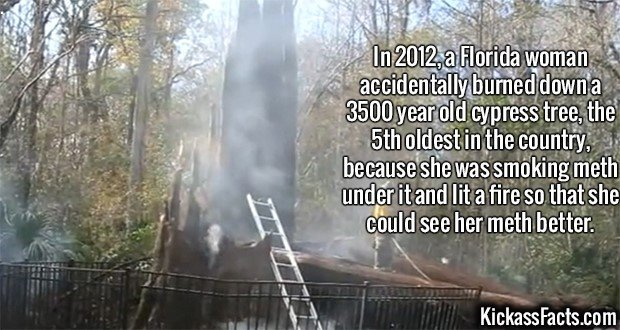 2368 Florida Oldest Tree-In 2012, a Florida woman accidentally burned down a 3500 year old cypress tree, the 5th oldest in the country, because she was smoking meth under it and lit a fire so that she could see her meth better.