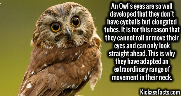 2393 Owl eyes-An Owl's eyes are so well developed that they don't have eyeballs but elongated tubes. It is for this reason that they cannot roll or move their eyes and can only look straight ahead. This is why they have adapted an extraordinary range of movement in their neck.
