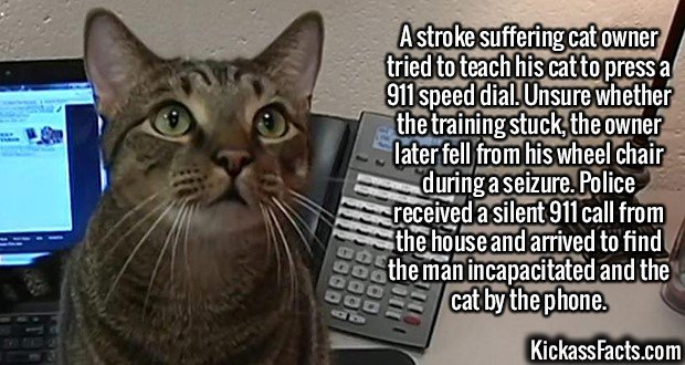 2400 Cat 911-A stroke suffering cat owner tried to teach his cat to press a 911 speed dial. Unsure whether the training stuck, the owner later fell from his wheel chair during a seizure. Police received a silent 911 call from the house and arrived to find the man incapacitated and the cat by the phone.