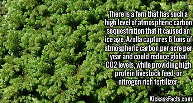 2402 Azolla fern-There is a fern that has such a high level of atmospheric carbon sequestration that it caused an ice age. Azolla captures 6 tons of atmospheric carbon per acre per year and could reduce global CO2 levels, while providing high protein livestock feed, or nitrogen rich fertilizer.