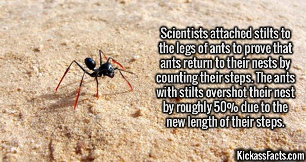 2430 Ants on stilts-Scientists attached stilts to the legs of ants to prove that ants return to their nests by counting their steps. The ants with stilts overshot their nest by roughly 50% due to the new length of their steps.