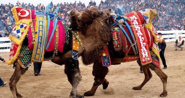 10. Camel Wrestling Festival