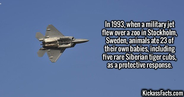 2461 Military jet flyby-In 1993, when a military jet flew over a zoo in Stockholm, Sweden, animals ate 23 of their own babies, including five rare Siberian tiger cubs, as a protective response.