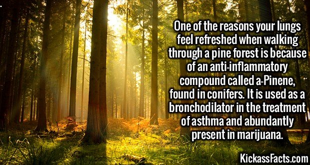 2476 Pine forest Walk-One of the reasons your lungs feel refreshed when walking through a pine forest is because of an anti-inflammatory compound called a-Pinene, found in conifers. It is used as a bronchodilator in the treatment of asthma and abundantly present in marijuana.