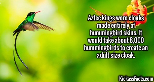 2553 Aztec kings Hummingbird Cloaks-Aztec kings wore cloaks made entirely of hummingbird skins. It would take about 8,000 hummingbirds to create an adult-size cloak.