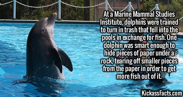 2559 Dolphins Trash Reward-At a Marine Mammal Studies Institute, dolphins were trained to turn in trash that fell into the pools in exchange for fish. One dolphin was smart enough to hide pieces of paper under a rock, tearing off smaller pieces from the paper in order to get more fish out of it.