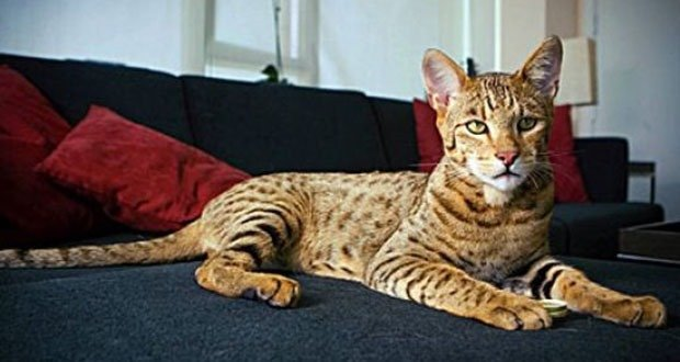 50. The Ashera Cat (Savannah Cat)