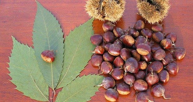 American Chestnuts
