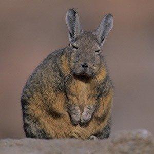Lagidium - Viscacha