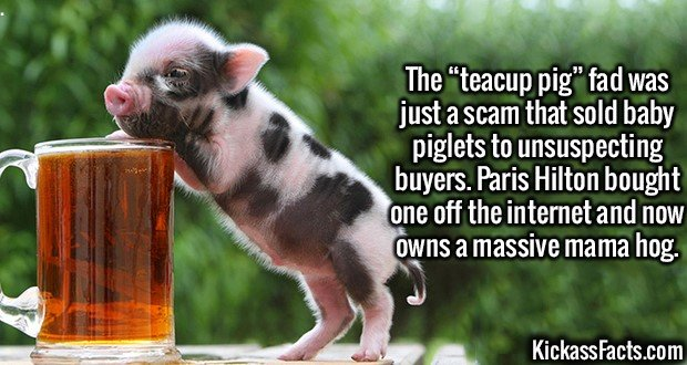 "2590 Teacup Pig-The ""teacup pig"" fad was just a scam that sold baby piglets to unsuspecting buyers. Paris Hilton bought one off the internet and now owns a massive mama hog."