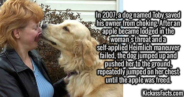 2646 Toby the Dog-In 2007, a dog named Toby saved his owner from choking. After an apple became lodged in the woman's throat and a self-applied Heimlich maneuver failed, the dog jumped up and pushed her to the ground, repeatedly jumped on her chest until the apple was freed.