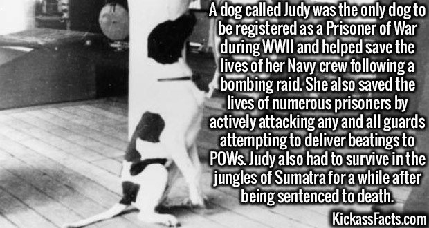 2729 Judy the Pointer-A dog called Judy was the only dog to be registered as a Prisoner of War during WWII and helped save the lives of her Navy crew following a bombing raid. She also saved the lives of numerous prisoners by actively attacking any and all guards attempting to deliver beatings to POWs. Judy also had to survive in the jungles of Sumatra for a while after being sentenced to death.