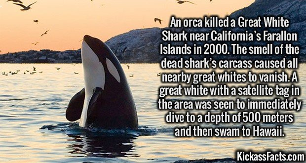 2734 Orca Shark Killer-An orca killed a Great White Shark near California's Farallon Islands in 2000. The smell of the dead shark's carcass caused all nearby great whites to vanish. A great white with a satellite tag in the area was seen to immediately dive to a depth of 500 meters and then swam to Hawaii.