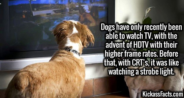 2826 Dog Watching TV-Dogs have only recently been able to watch TV, with the advent of HDTV with their higher frame rates. Before that, with CRT's, it was like watching a strobe light.