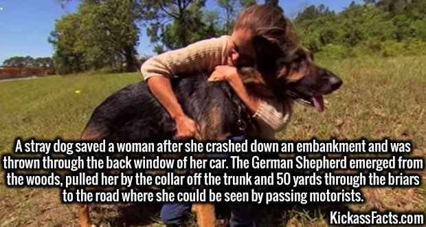 2835 Dog to Rescue-A stray dog saved a woman after she crashed down an embankment and was thrown through the back window of her car. The German Shepherd emerged from the woods, pulled her by the collar off the trunk and 50 yards through the briars to the road where she could be seen by passing motorists.