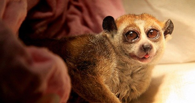 BRISTOL, ENGLAND - JUNE 18:  Mr Ben, a pygmy slow loris, comes round at Bristol Zoo???s in-house veterinary clinic following a routine check-up and teeth clean as part of the Zoo???s standard animal husbandry and welfare procedure at Bristol Zoo on June 18, 2009 in Bristol, England. The furry, three-year-old patient, was diagnosed with some minor gum problems and given a dose of antibiotics, and is now recovering well back at his home in Bristol Zoo???s nocturnal house, Twilight World. The procedure was carried out by Bristol Zoo???s head of veterinary services, Sharon Redrobe, who has been at Bristol Zoo for 10 years with the loris - listed as a vulnerable species on the IUCN Red List of Threatened Species - just one of more than 450 different animal species which Sharon has treated at the zoo  (Photo by Matt Cardy/Getty Images)