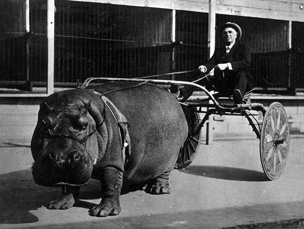 Circus hippo pulling a cart