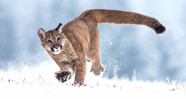 Cougar-Running-in-Winter-HD-Photo