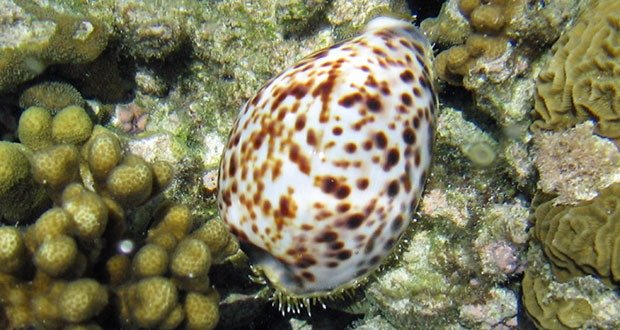 02. Cone Snail
